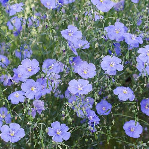 Linum perenne 'Perennial Flax'