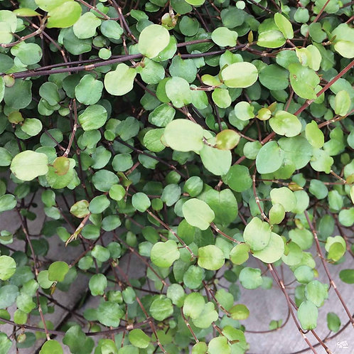 Muehlenbeckia Wire Vine 'Big Leaf'