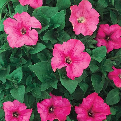 Supertunia® Giant Pink
