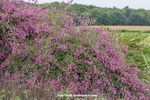 Pink Bush Clover 'Gibraltar'