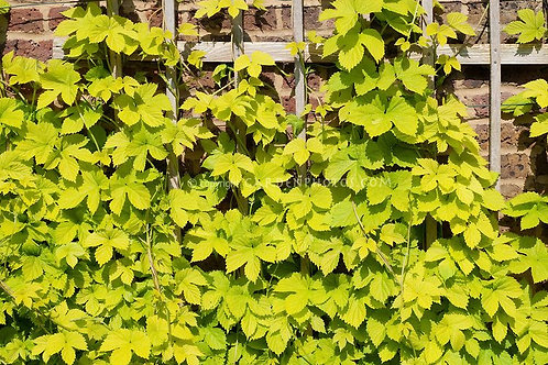 Humulus lupulus 'Aureus' Hop