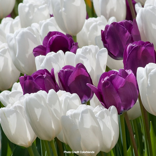 Mood Indigo™ Tulip