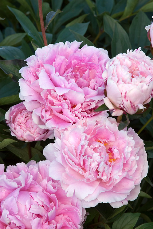 Peony Sarah Bernhardt Double
