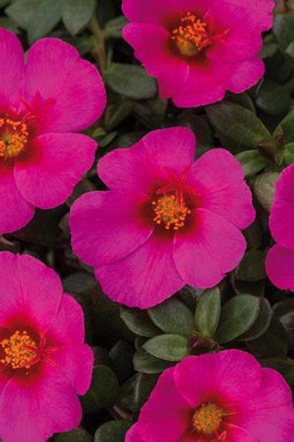 Portulaca 'Colorblast Plumberry'