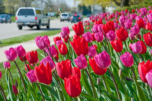 Lipsticks™ Tulip Bulb