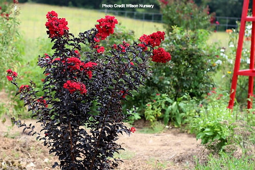 Ebony Flame Red Crape Myrtle