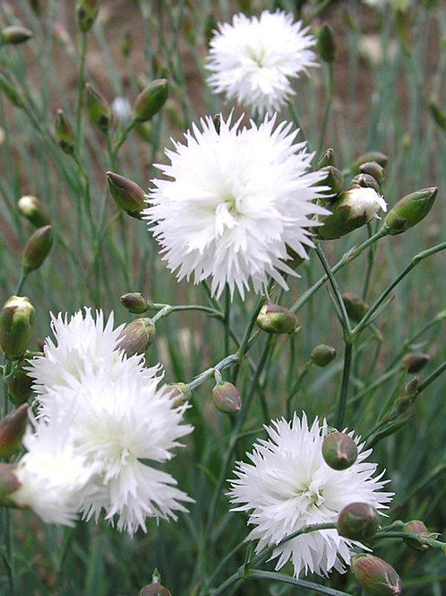 Dianthus 'Itsaul White'