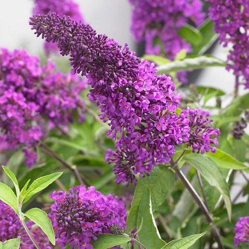 Tutti Fruitti Butterfly Bush