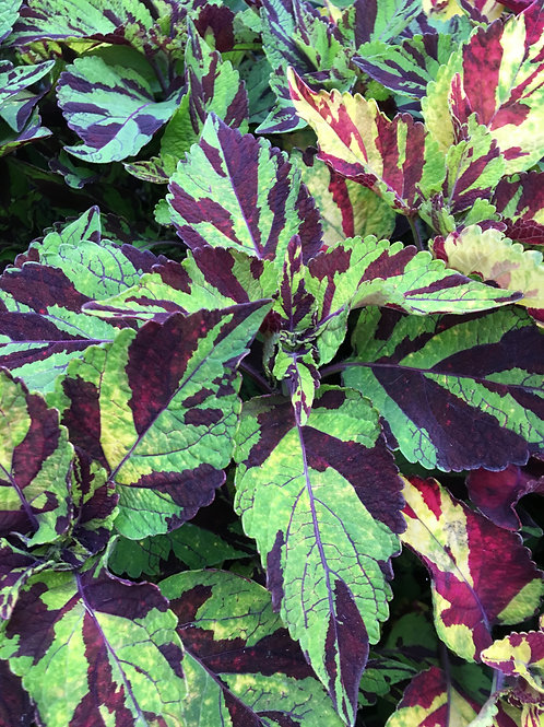 FlameThrower™ Chili Pepper Coleus