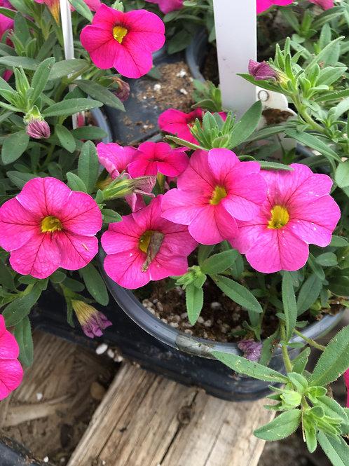 Calibrachoa hybrid Aloha Kona 'Hot Pink'