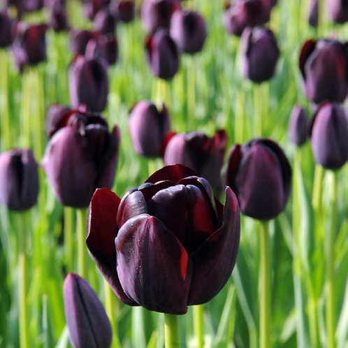 Queen of Night Tulip Bulb