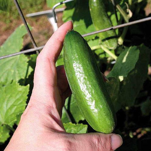Cucumber Baby