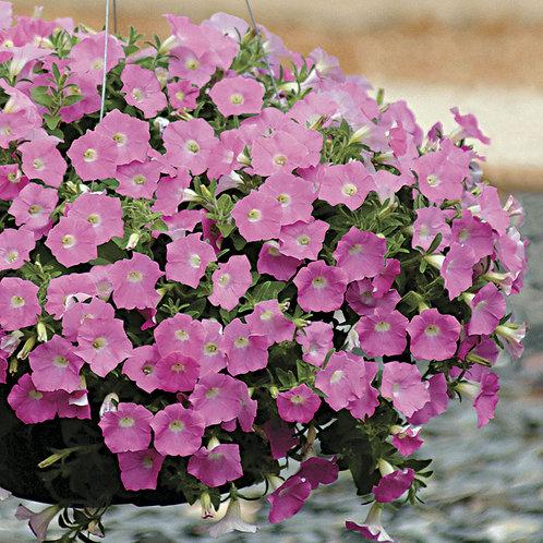 Petunia Wave 'Pink Shades'