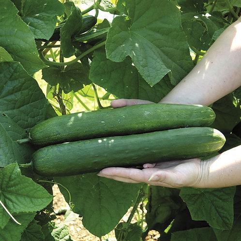 Sweet Success Hybrid Cucumber