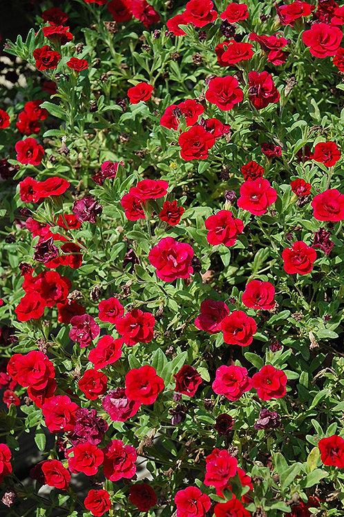 Calibrachoa 'Uno Double Red'