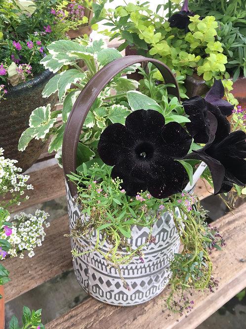 Cream Tin Bucket (Black Petunias, Swedish Ivy, Alyssum)