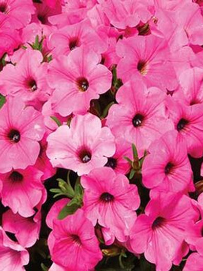 ColorRush™ Pink Petunia