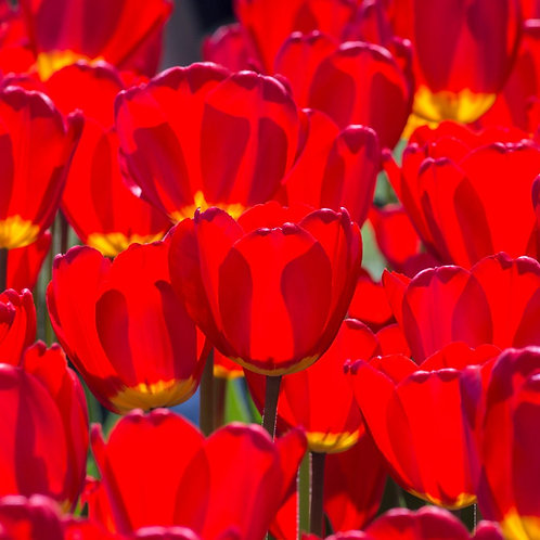Best Red Tulip