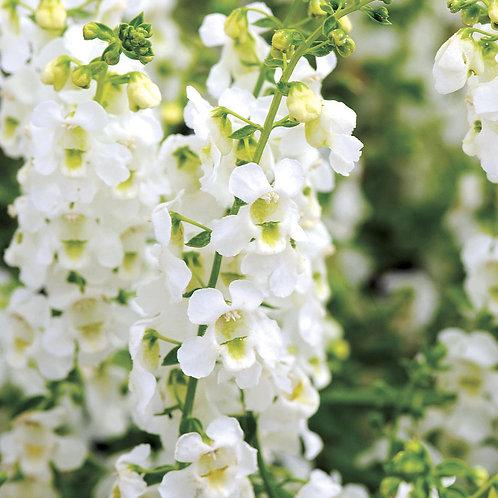 Angelonia Serena 'White'