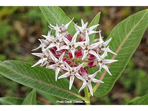 Asclepias 'Showy Milkweed'
