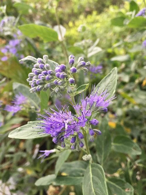 Sunshine Blue® II Bluebeard Caryopteris
