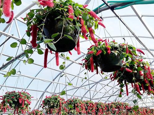 "10"" Acalypha Pendula Cat Tails (Chenille Plant) Hanging Basket"