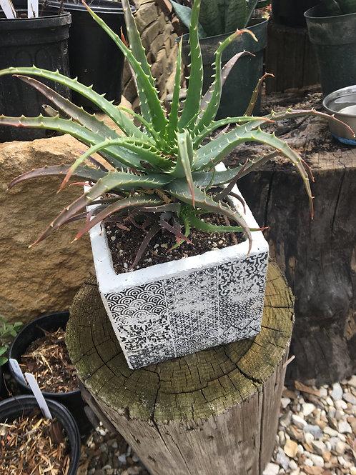 Aloe Vera Container