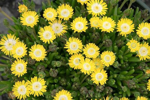 Ice Plant 'Jewel of Desert Peridot'
