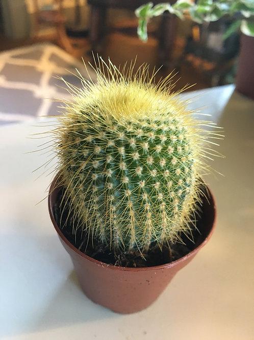 Parodia leninghausii Cactus