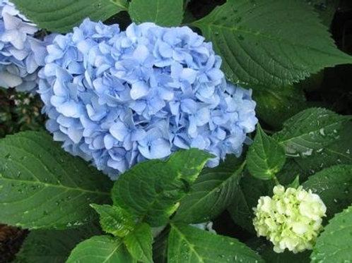 Nantucket Blue™ Hydrangea