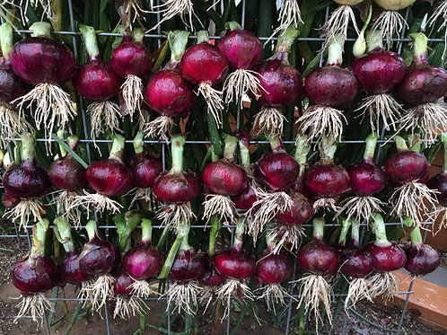 Red Candy Apple Onion Plants