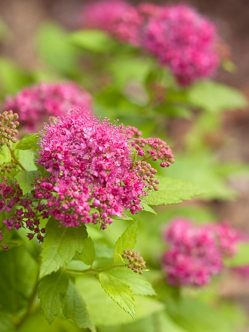 Double Play® Gold Spirea