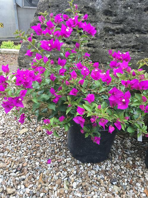 Royal Purple Bougainvillea Plant