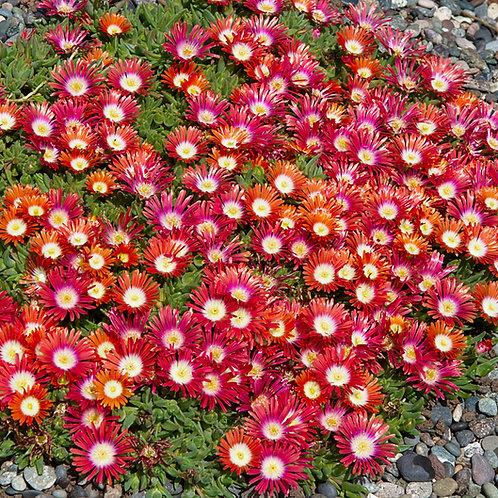 Delosperma Red Mountain® Ice Plant