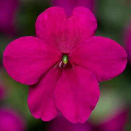 Impatiens Imara® Purple
