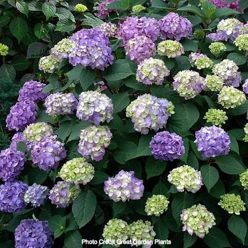 Bloomstruck® Hydrangea Endless Summer®