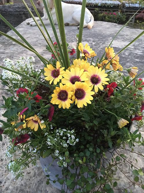 Tin Bucket (Osteospermum Yellow, Calibrachoa Red) Combo