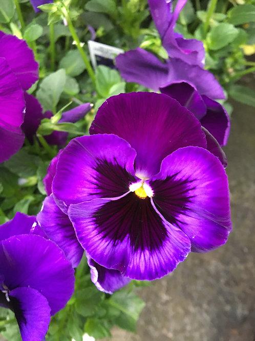 Pansy Delta™ Premium Neon Violet
