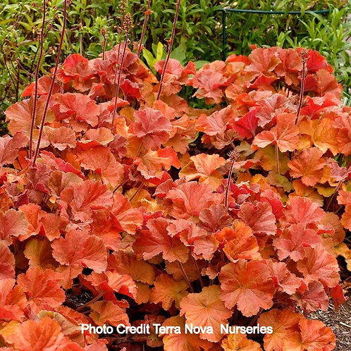 Heuchera 'Northern Exposure™ Amber' Coral Bells