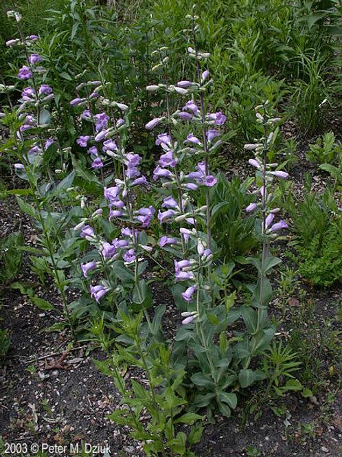 Penstemon Large-Flowered Beardtongue