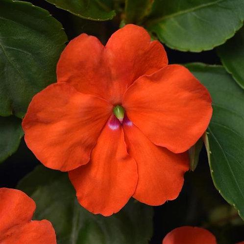 Impatiens 'Beacon Orange'