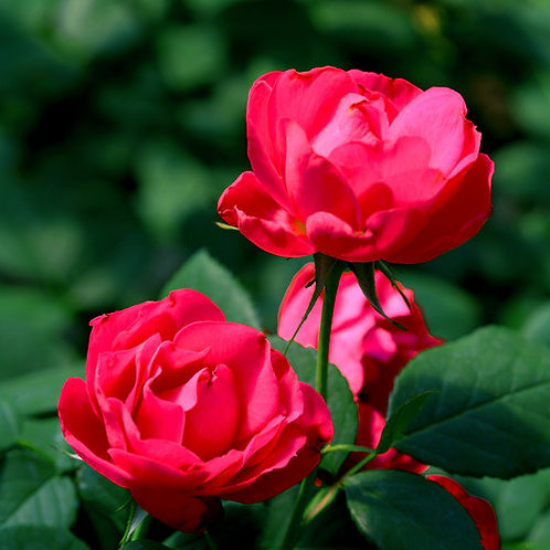 Oso Easy Double Red® Rose