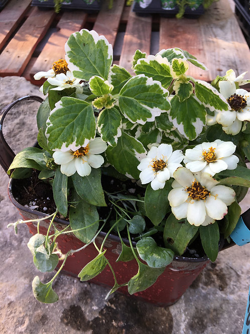 Swedish Ivy, White Zinnia Red Square Bucket Combo