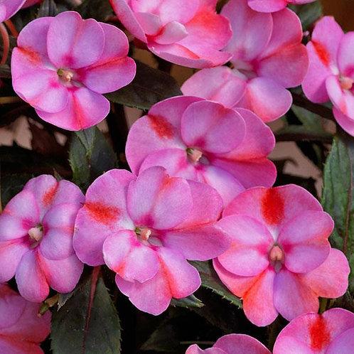 Impatiens Sunpatiens Compact 'Pink Candy'