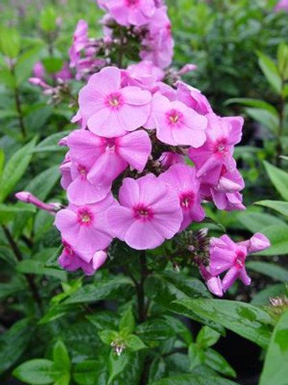 Phlox 'Spring Delight'