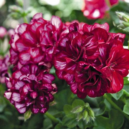 Great Balls of Fire™ Burgundy Blaze Ivy Geranium