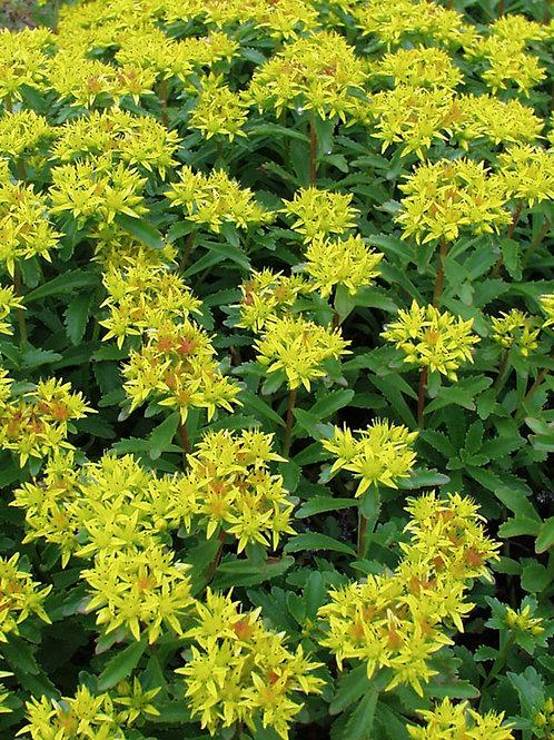 Sedum Kamtschaticum Stonecrop