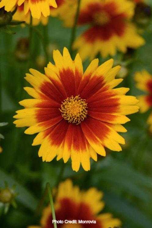 UpTick™ Yellow & Red Coreopsis