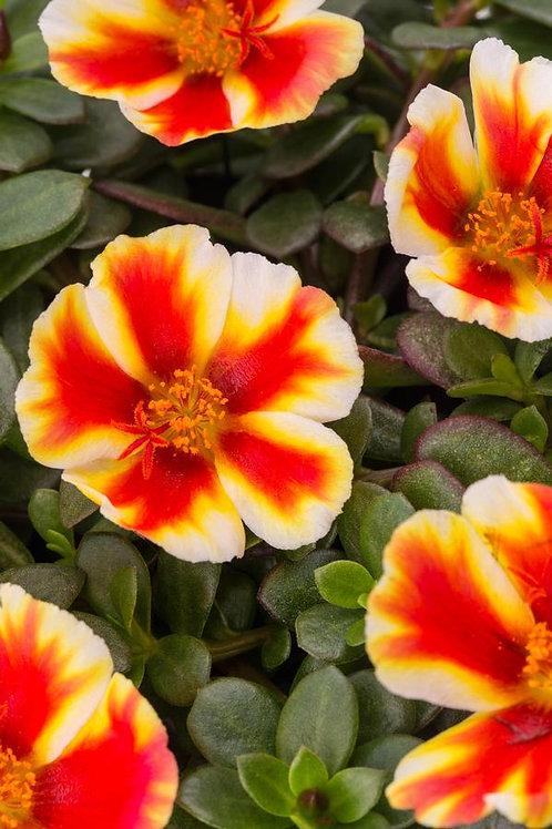 Portulaca Plant Colorblast Mango Mojito