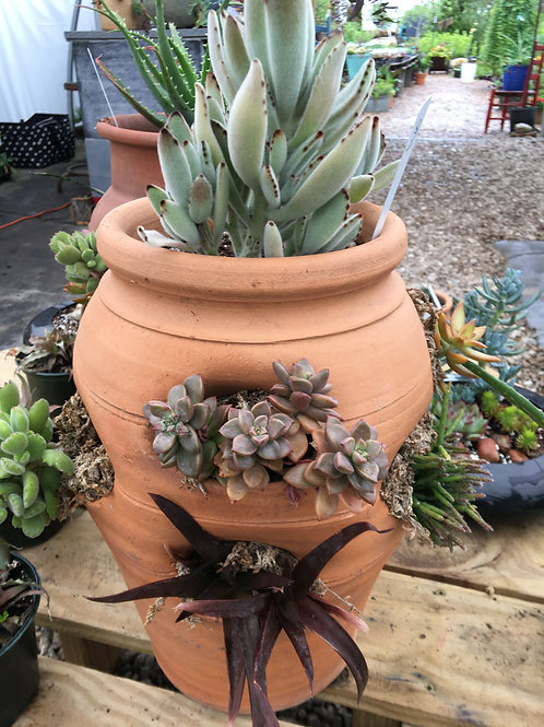 Succulent Strawberry Terra Cotta Pot Combo 1
